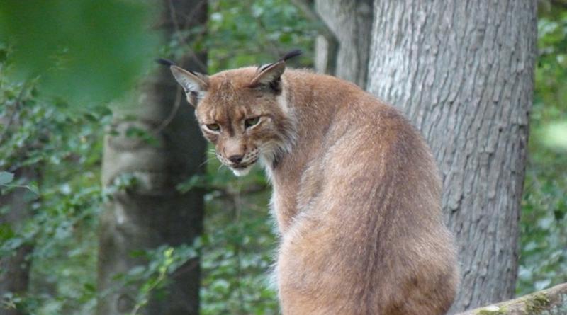 © ZDF und Dr. Birgit Hermes Der Eurasische Luchs ist die größte Katze des Kontinents.