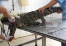 Krokodile für 'Luxustaschen' in Betongruben gepfercht und lebendig aufgeschnitten PETA enthüllt grausamste Bedingungen auf vietnamesischen Krokodilfarmen Luxusmarken als mutmaßliche Abnehmer