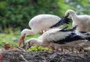 Neuer Storchenrekord in Hessen