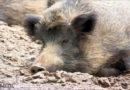 Aujeszkyschen Krankheit (AK) bei Wildschwein im Werra-Meißner-Kreis nachgewiesen