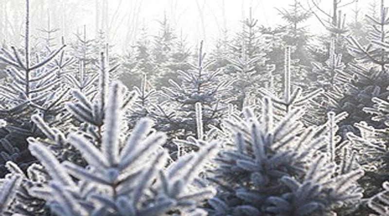 Weihnachtsbaum kurz vor der Ernte