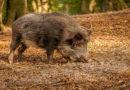 Bundeskabinett hebt Schonzeiten für Wildschweine auf