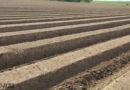 Spargel auch 2016 Spitzenreiter im deutschen Gemüseanbau