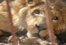 VIER PFOTEN hilft verbliebenen Zootieren im vom Krieg verwüsteten Mossul