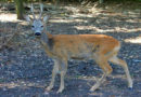 NABU fordert weniger Wildunfälle – Freie Bahn für Wildtiere