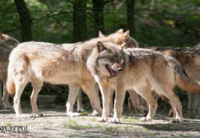 NABU: Bundesratsinitiative zum Wolf setzt falschen Fokus