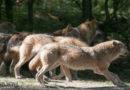 NABU: Zunahme illegaler Wolfstötungen ist alarmierend