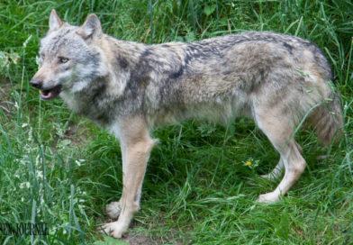 KNELL (FDP) : Hessens Wolfsmanagement ist gescheitert