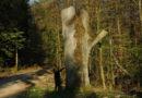 Sehr schade – Naturdenkmal Fresseiche musste gekappt werden