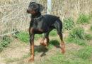 Kupiertourismus bei Dobermännern: Deutscher Tierschutzbund stellt Strafanzeige gegen Züchterin