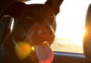 Warme Temperaturen in Deutschland: PETA appelliert an alle Tierhalter, ihre Hunde niemals im Fahrzeug zurückzulassen