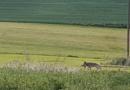 Wolf streift durch Mittelhessen