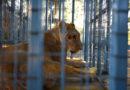 Rettungsmission syrischer Zootiere erfolgreich abgeschlossen: VIER PFOTEN bringt die letzten vier Löwen und Hunde zur Behandlung in die Türkei.