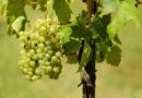 Weinbaubetriebe erwarten überdurchschnittliche Ernte