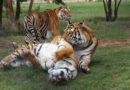 US-Behörde genehmigt Export von Großkatzen des Zirkus Ringling nach Deutschland. VIER PFOTEN drängt auf Wildtierverbot im Zirkus.