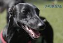 Windhunde rennen um Deutsche Meisterschaft