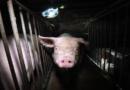 Kastenstandhaltung bei Sauen – Nachbesserungsbedarf beim Entschließungsantrag