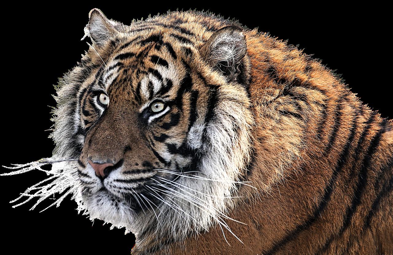 Vor Auftritt im Heilbronner Weihnachtscircus: Tiger Suzy des Dompteurs Lacey nach Ausbruch erschossen