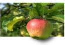 Obstdiebe machen keine reiche Beute