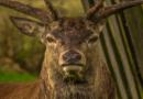 Wildunfälle: Hirsch und Wildschwein sind immer unschuldig