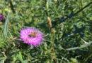 Insektensterben am Feldrand