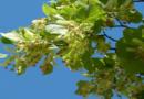 74 neue Bäume für das grüne Band in der Wilhelmshöher Allee