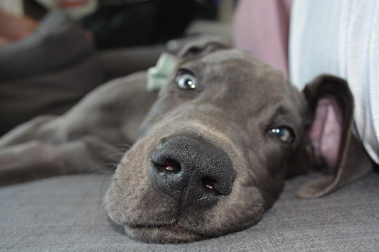 Dieb nutzt offene Haustüren aus: Doggen-Welpe sorgt für Festnahme