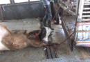 Qualvolle Tiertransporte und Schlachtung in EU-Drittländern