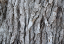 KS: Die Baumschutzsatzung wurde neugefasst