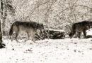 Der Wolf, Hüter des Waldes