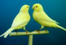 Kanarienvogel-Dealer?   Diebstahl von Zuchtkanarienvögeln