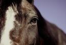 Tierquälerei: Ponys geschoren und an Hufen beschnitten