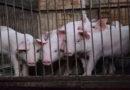 Greenpeace-Kommentar zu Corona-Infektionen in Schlachthöfen
