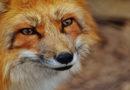 Beginn der Zeckenzeit – Füchse als Verbündete im Kampf gegen die Borreliose!