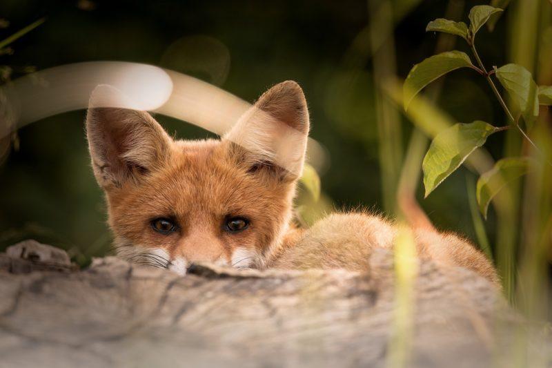 Fuchsjagd startet nach Schonzeit: Kritik der Jäger