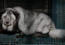 Füchse bis zur Unkenntlichkeit gemästet, damit sie mehr Pelz liefern