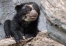Frankfurter Zoo: Brillenbären-Nachwuchs erkundet Außenanlage