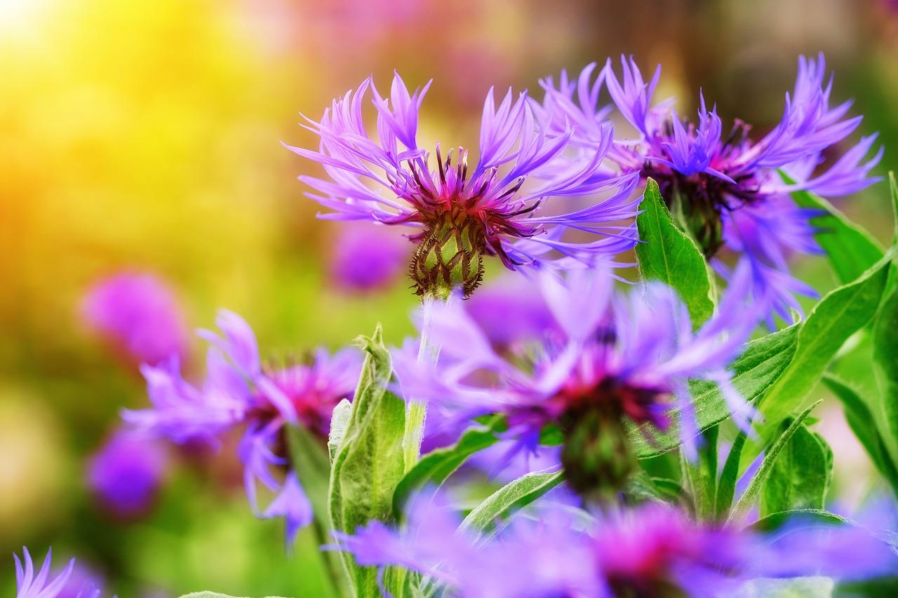 Gartenblumen: Astern