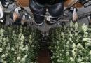 Profi-Indoorplantage entdeckt – 2.500 in Blüte stehende Pflanzen aufgefunden