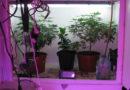 60 Cannabispflanzen als Zufallsfund bei Durchsuchung in Wohnung sichergestellt