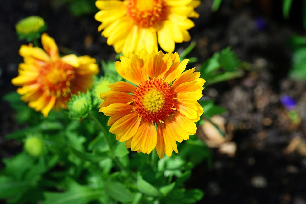 Gartenblumen: Kokardenblume
