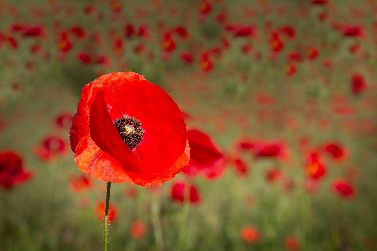 Gartenblumen: Mohn