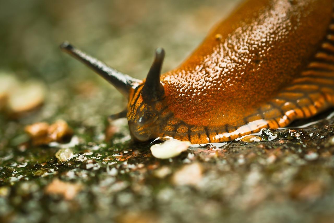Schädlinge im Garten: Schnecken