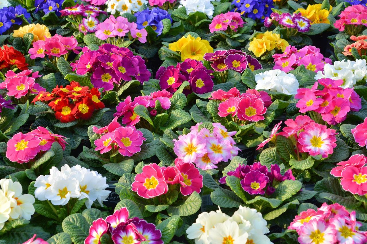 Gartenblumen: Primeln