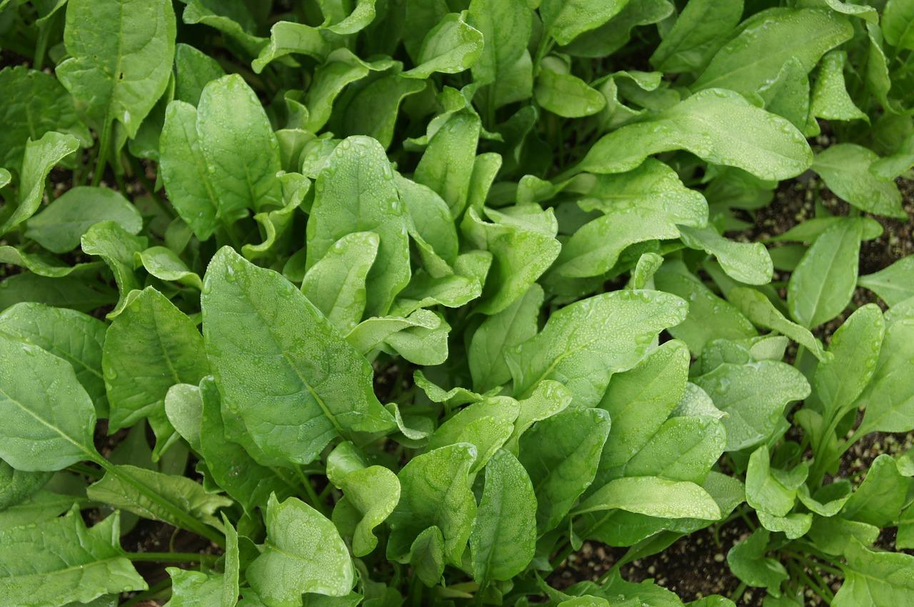 Saatzeit Mai: Spinat
