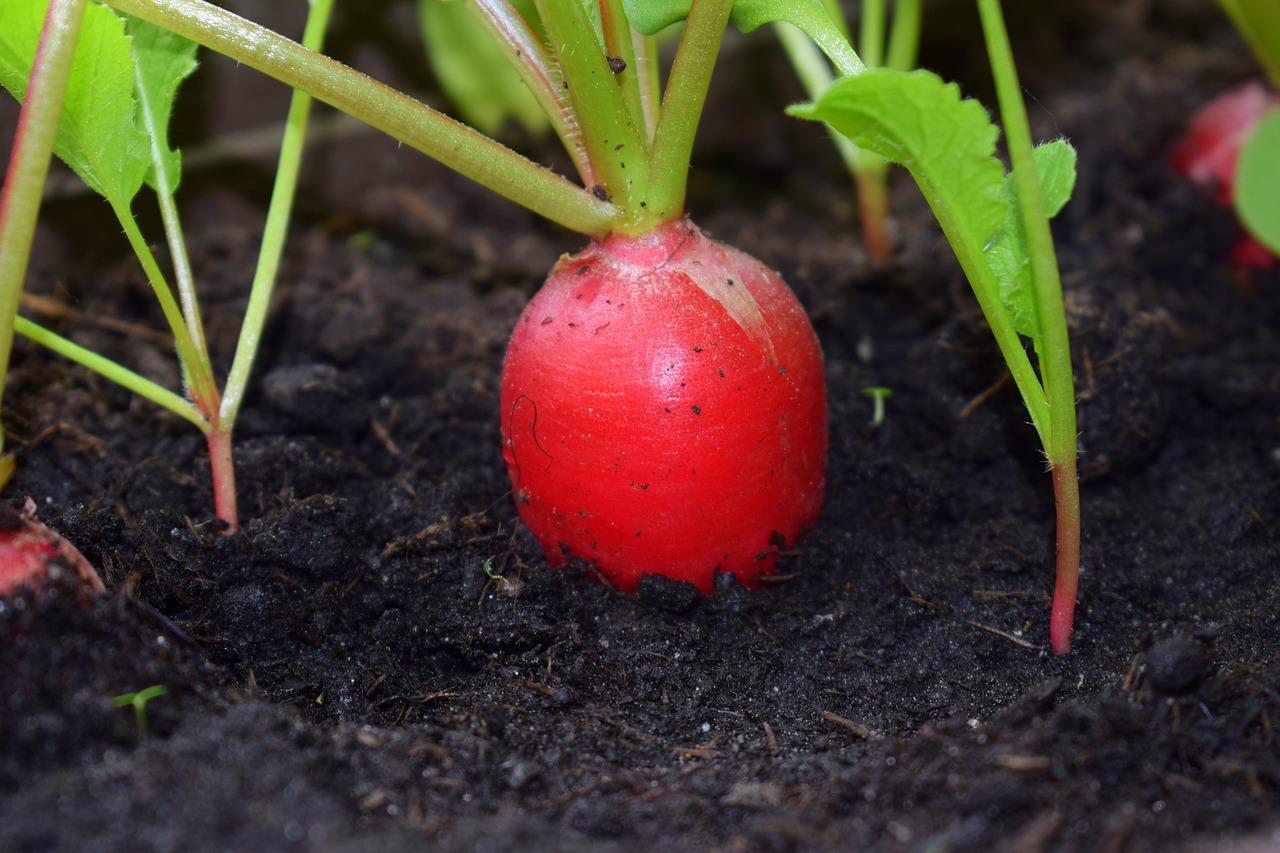 Die Gartenrowdys: Radieschen