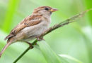Sperling wieder auf Platz eins, Vogelzahlen leicht rückläufig