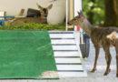 «Bambi» zieht um – und findet direkt Reh-Freundin