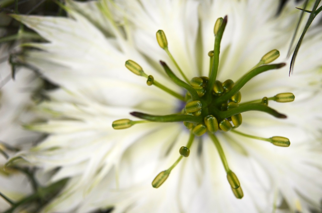 Gartenkräuter: Kümmel