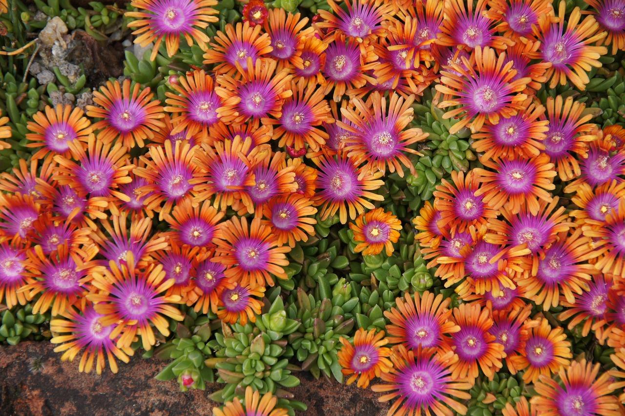 Gartenblumen: Mittagsblume